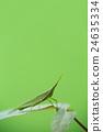蚱蜢 蝗蟲 較小的長頭蝗蟲 24635334