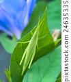 蚱蜢 蝗蟲 較小的長頭蝗蟲 24635335