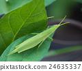 蚱蜢 蝗蟲 較小的長頭蝗蟲 24635337