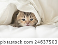 Cute tabby kittens lying 24637503