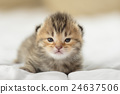 Cute tabby kittens lying 24637506