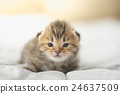 Cute tabby kittens lying 24637509