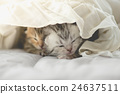 Cute tabby kittens lying 24637511