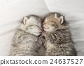 Cute tabby kittens sleeping and hugging 24637527