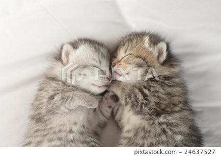 Cute tabby kittens sleeping and hugging 24637527