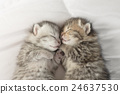 Cute tabby kittens sleeping and hugging 24637530