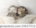 Cute tabby kittens sleeping and hugging 24637532