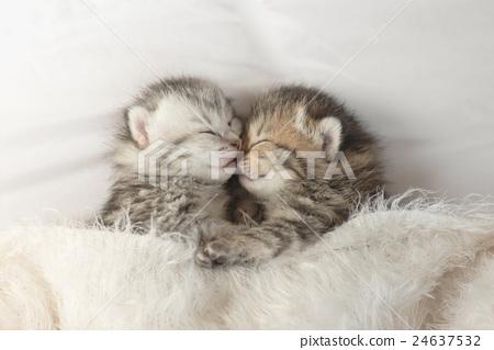 Cute tabby kittens sleeping and hugging 24637532