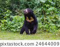 Malayan sun bear, Honey bear (Ursus malayanus) 24644009