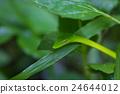 Oriental Whipsnake or Asian Vine Snake 24644012