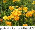 ดอกไม้สีเหลืองของ Kibanacosmos กำลังเบ่งบานเตียงดอกไม้จากฤดูร้อนถึงฤดูใบไม้ร่วง 24645477
