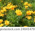 ดอกไม้สีเหลืองของ Kibanacosmos กำลังเบ่งบานเตียงดอกไม้จากฤดูร้อนถึงฤดูใบไม้ร่วง 24645479