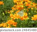 ดอกไม้สีเหลืองของ Kibanacosmos กำลังเบ่งบานเตียงดอกไม้จากฤดูร้อนถึงฤดูใบไม้ร่วง 24645480