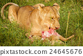 A young lion feeds on a freshly killed antelope. 24645676