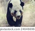 Giant Panda Bear 24646696
