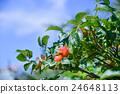 japanese, rose, rosa 24648113