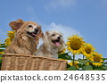 mixed breed dog, sunflower, sunflowers 24648535