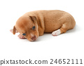 cute chihuahua puppies lying on white background 24652111