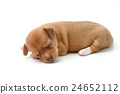cute chihuahua puppies lying on white background 24652112