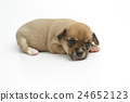 cute chihuahua puppies lying on white background 24652123