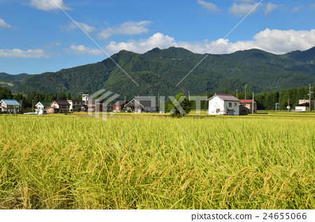 Paddy field of Uonuma Koshihikari near harvest 24655066