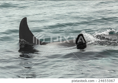 Couple of Killer Whales in Pacific Ocean. Water 24655067