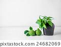 Sweet Basil Leaf in vase and Bergamot 24682069