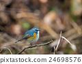 西伯利亞bluechat 禽 野生鳥類 24698576