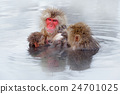 Monkey Japanese macaque, family with baby. 24701025