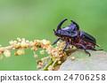 Rhinoceros Beetle  24706258