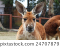 kangaroo, kangaroos, animal 24707879