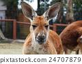 袋鼠 動物 哺乳動物 24707879