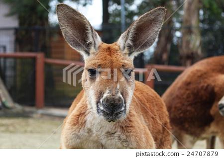 Kangaroo front 24707879
