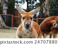 袋鼠 動物 哺乳動物 24707880