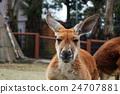 袋鼠 動物 哺乳動物 24707881