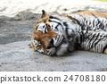 老虎 虎 西伯利亞虎 24708180