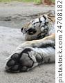 老虎 虎 西伯利亞虎 24708182