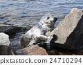 Seal Pagophilus groenlandicus 24710294