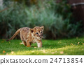 Young lion cub in the wild 24713854