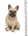 Beautiful french bulldog dog 24715787