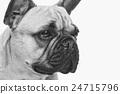 Beautiful french bulldog dog 24715796