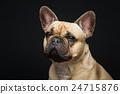 Beautiful french bulldog dog 24715876