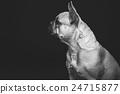Beautiful french bulldog dog 24715877