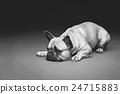 Beautiful french bulldog dog 24715883