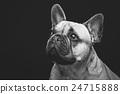 Beautiful french bulldog dog 24715888