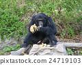chimpanzee 24719103