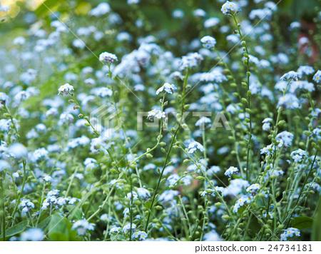 물망초의 꽃밭 24734181