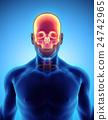 3D illustration of Cranium, medical concept. 24742965
