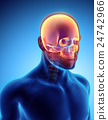 3D illustration of Cranium, medical concept. 24742966