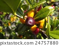 fruit, Okinawa, Ryukyu 24757880